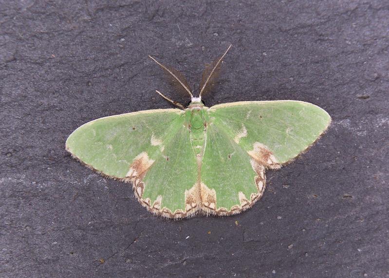 70.300 Blotched Emerald - Comibaena bajularia