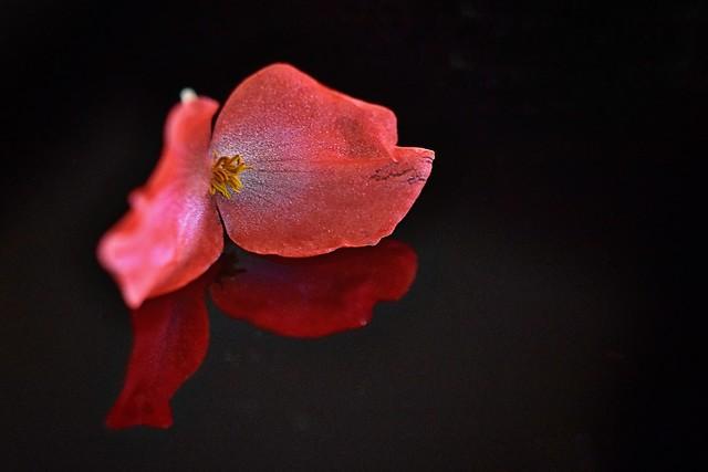 """Dragon Wing Begonia on Black Perspex"""