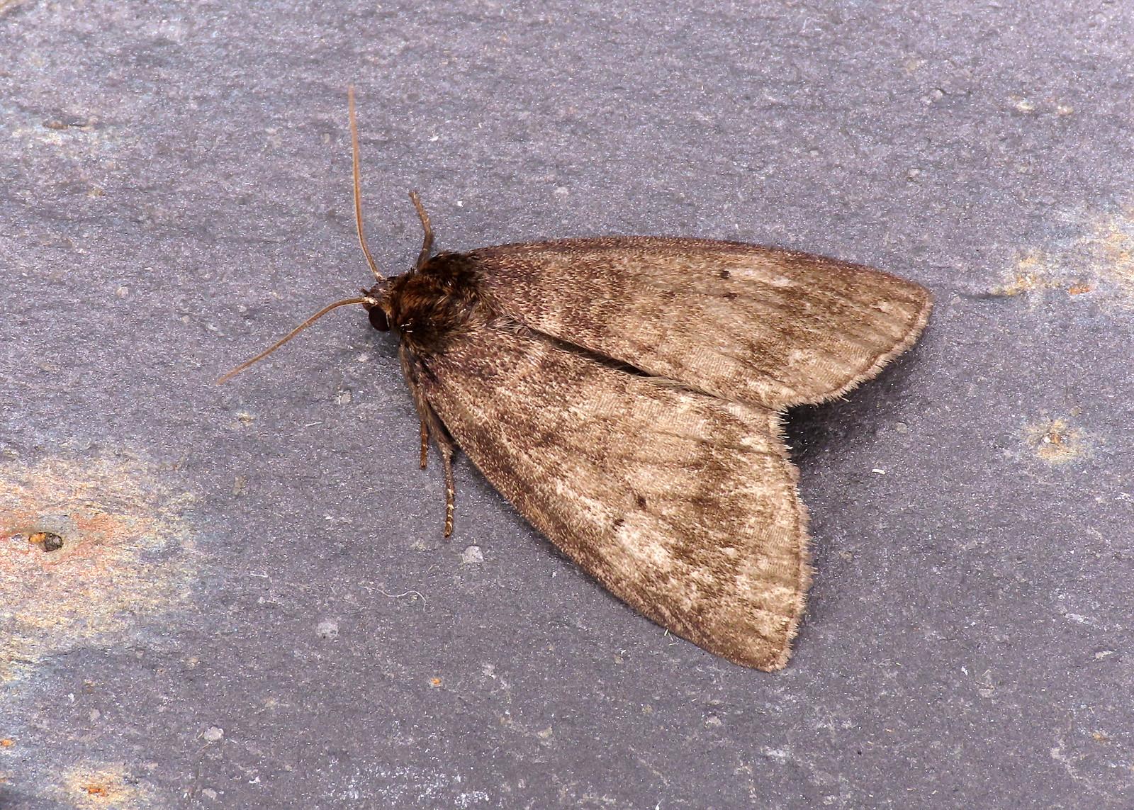 65.013 Common Lutestring - Ochropacha duplaris