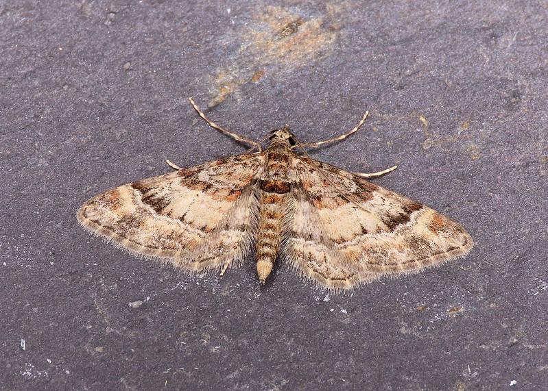70.141 Double-striped Pug - Gymnoscelis rufifasciata