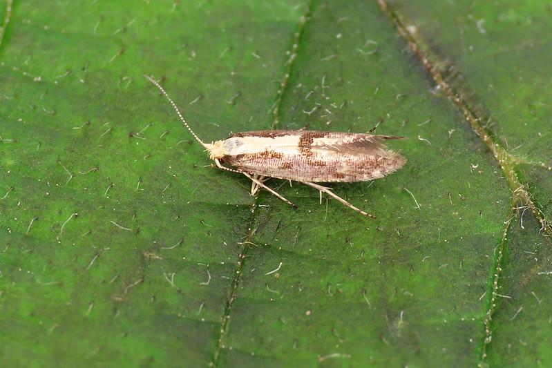 20.019 Apple Fruit Moth - Argyresthia conjugella