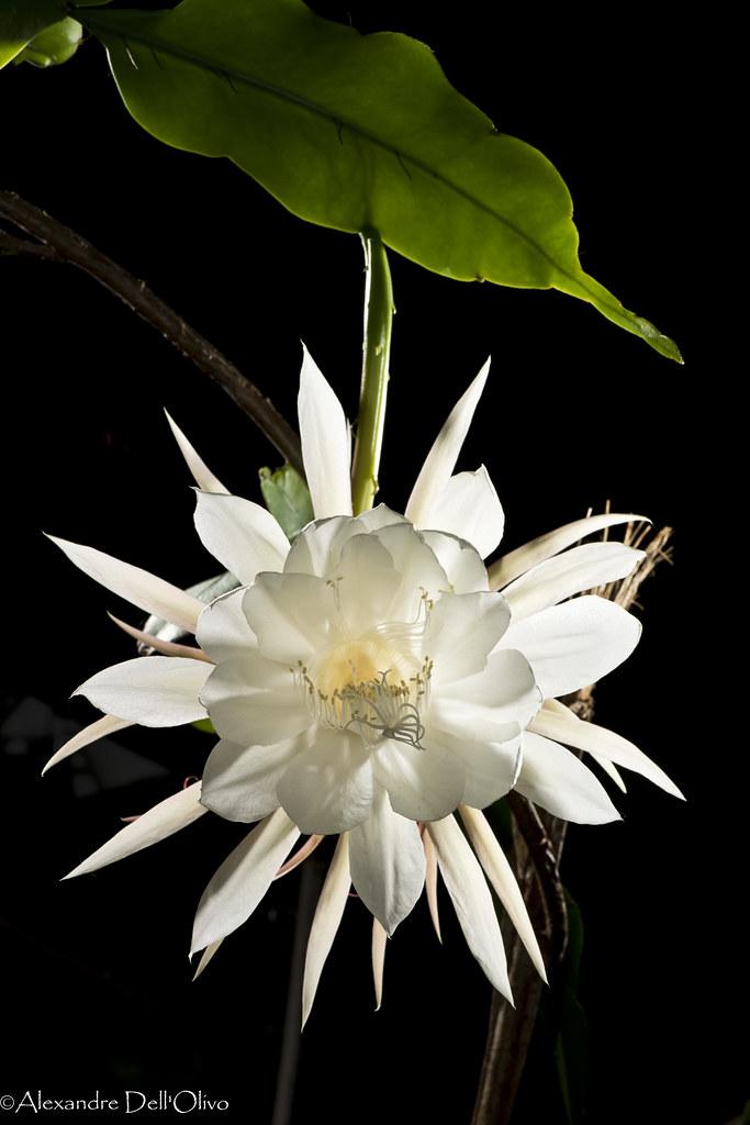 Epiphyllum oxypetalum_DSC1879