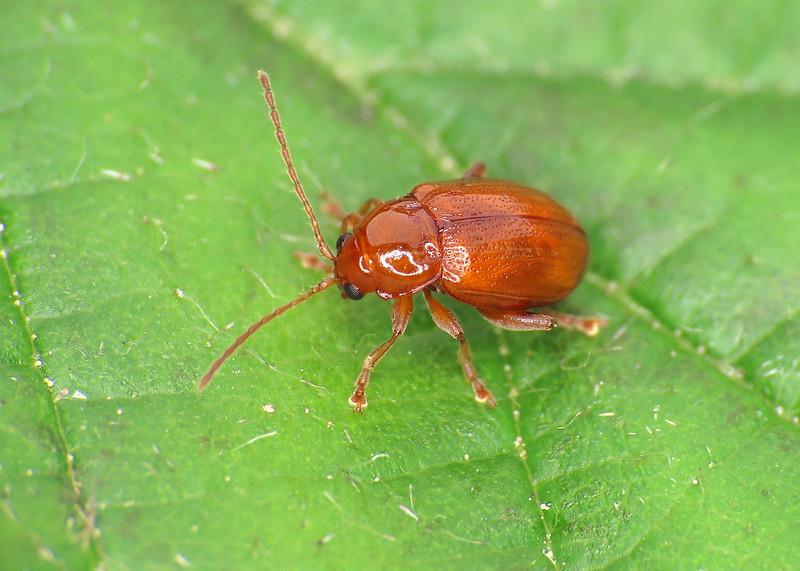 Neocrepidodera ferruginea - Wheat Flea Beetle