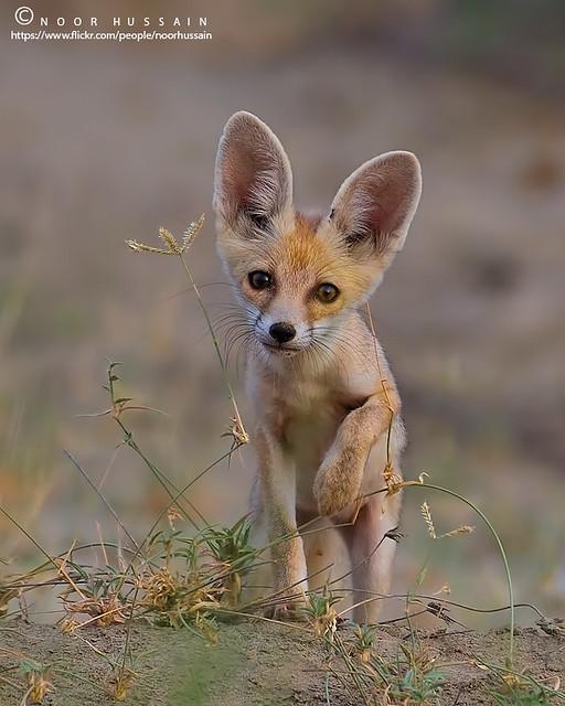 The white-footed fox (Desert Fox) Puppy