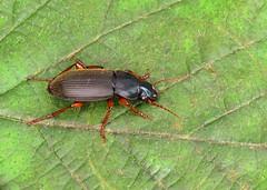 Strawberry Seed Beetle - Harpalus rufipes