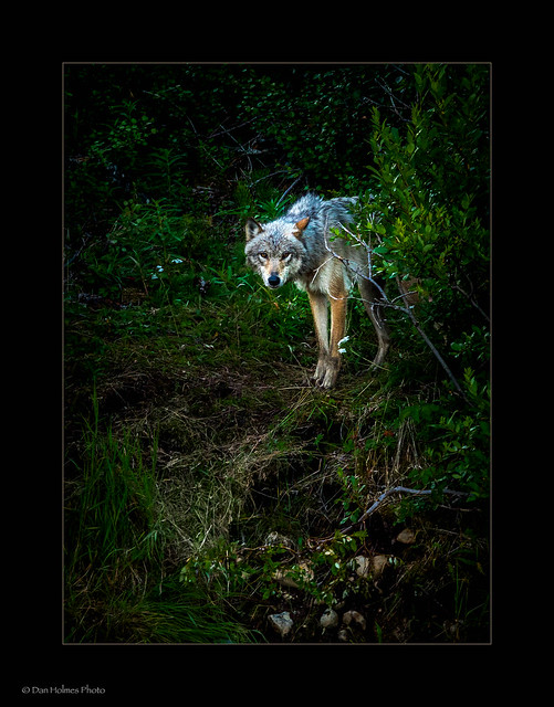 Connection with a Wolf