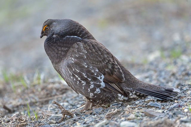Sooty Grouse (1 of 1)