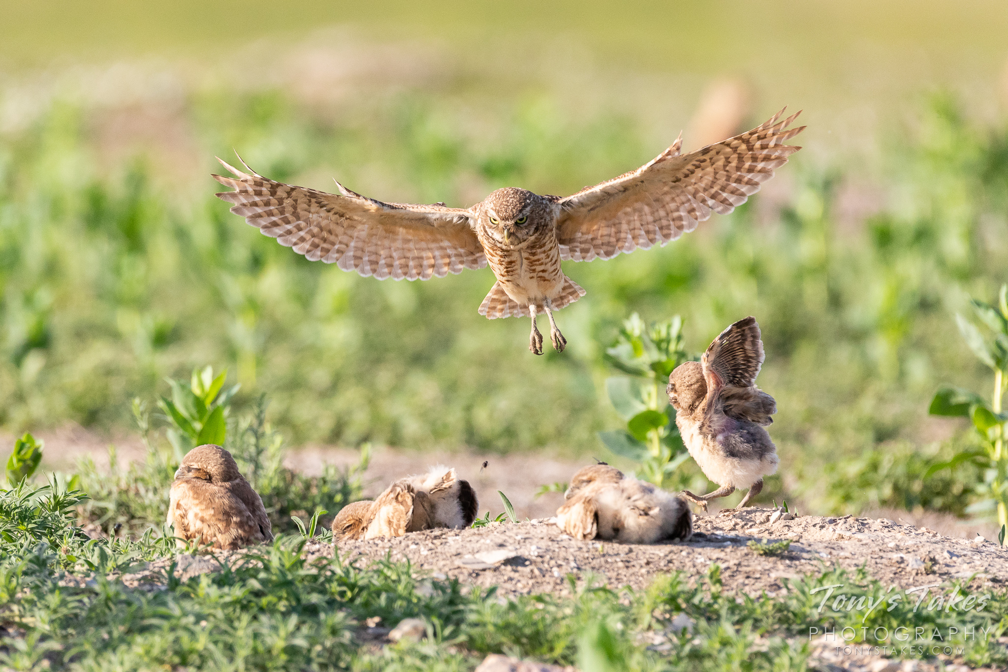 An adult burrowing owl returns to its home in Larimer County, Colorado. (© Tony's Takes)