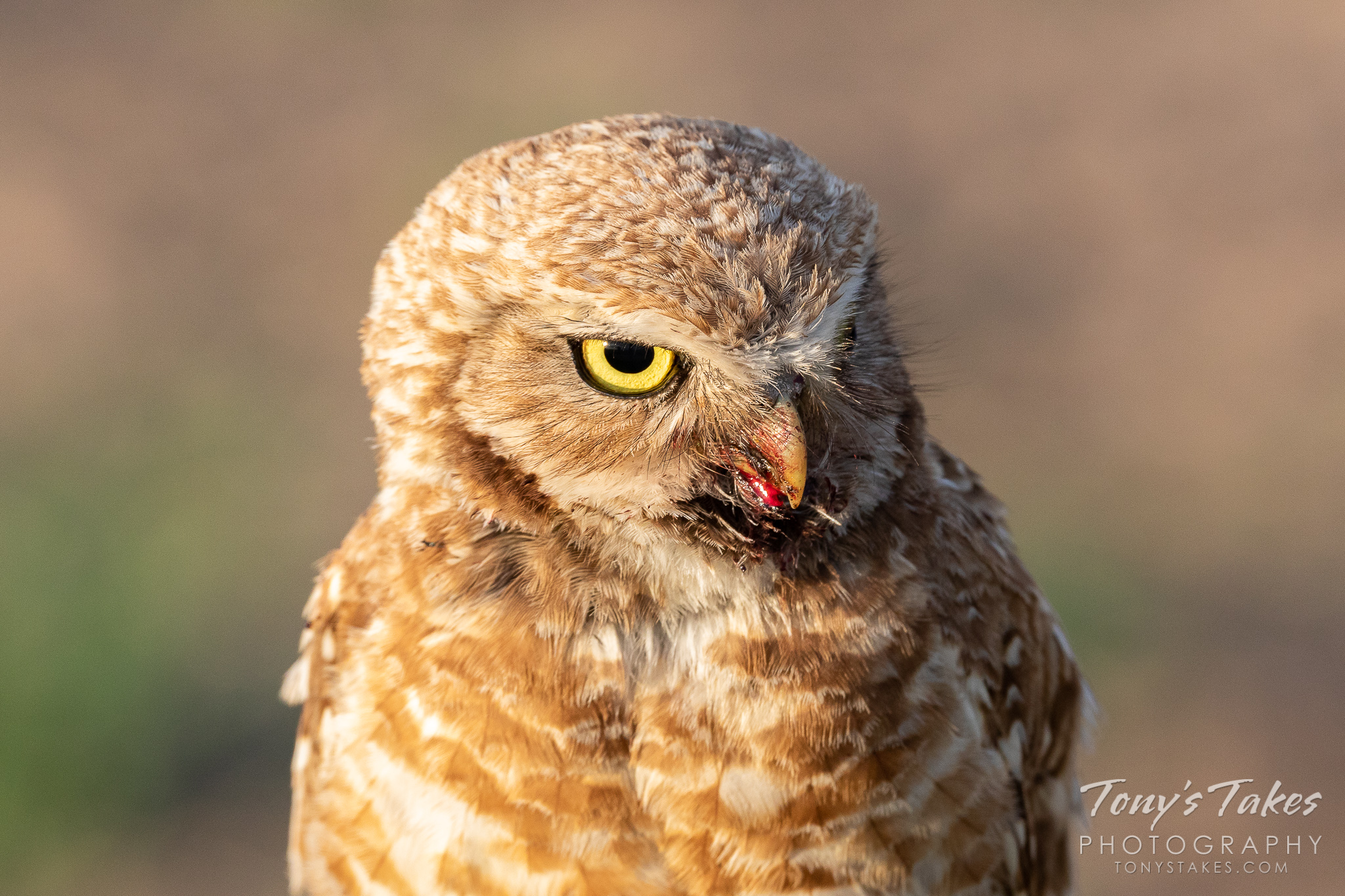 A burrowing owl seems to scowl in the early morning sun. (© Tony's Takes)