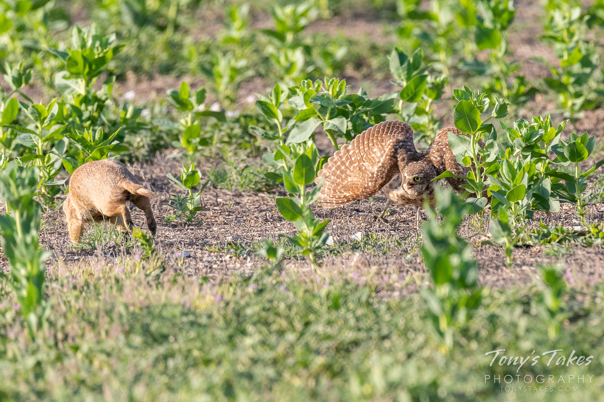 A burrowing owl warns off a prairie dog. (© Tony's Takes)