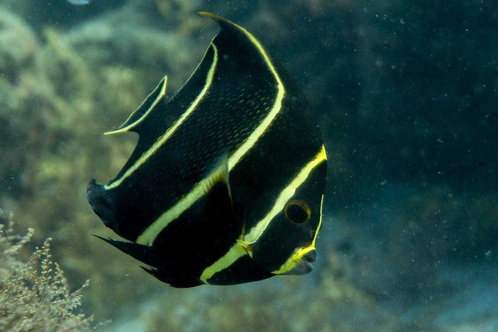 Juvenile Grey Angelfish