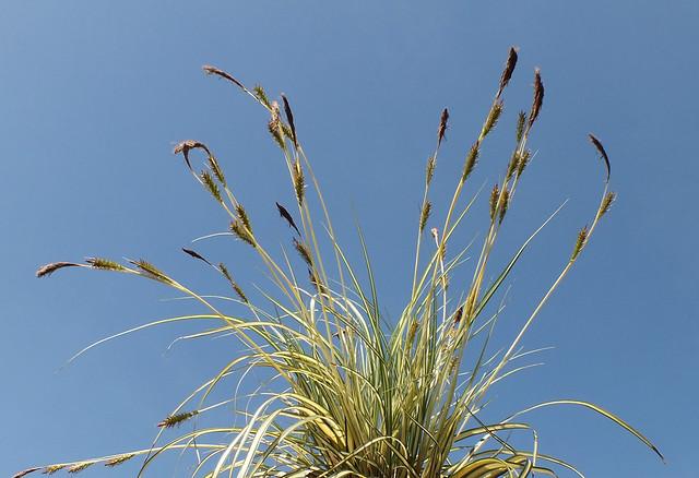 Evergold leatherleaf sedge (Carex oshimensis)