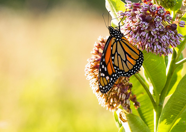 Monarch nectaring on Milkweed in the late evening light.