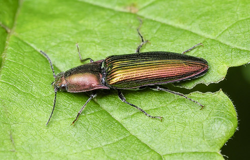 greenclickbeetle nitidolimoniusresplendens elateroidea coleoptera insect nearctic millcreek edmonton alberta canada animalplanet