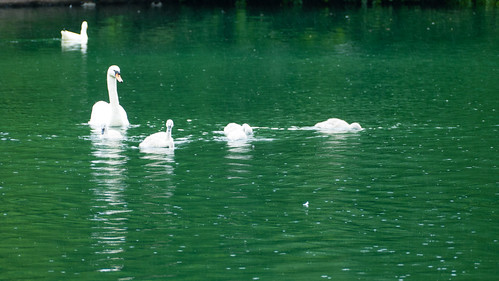 Green water, white swans