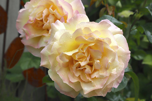 100 Flower in 2019-060 The Peace Rose