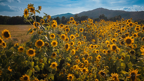 virginia lovingston flowers usa mountains yellow nelson craftbrewery woodridgefarmbrewery dirttothetable