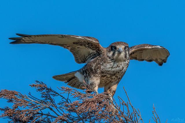 Brown Falcon DSC_6664