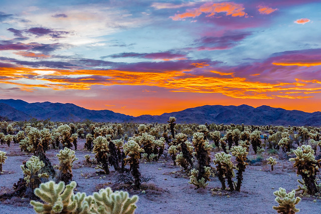 Cholla Cactus Garden During a Colorful Cloudy Sunset!