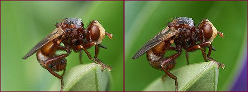 3-D Conopid fly Sicus ferrugineus #3 | by Lord V