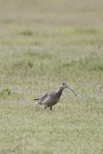 Long-billed Curlew 367