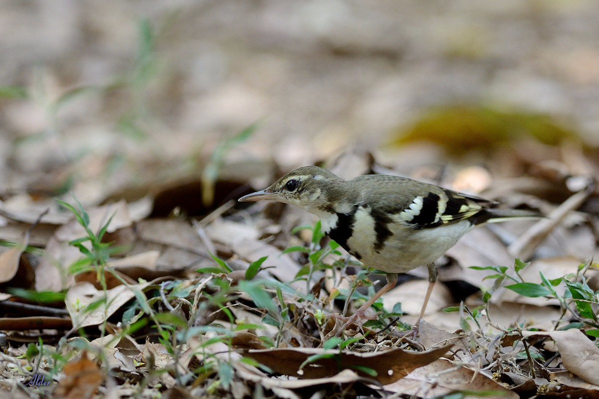 Forest_Wagtail_4589