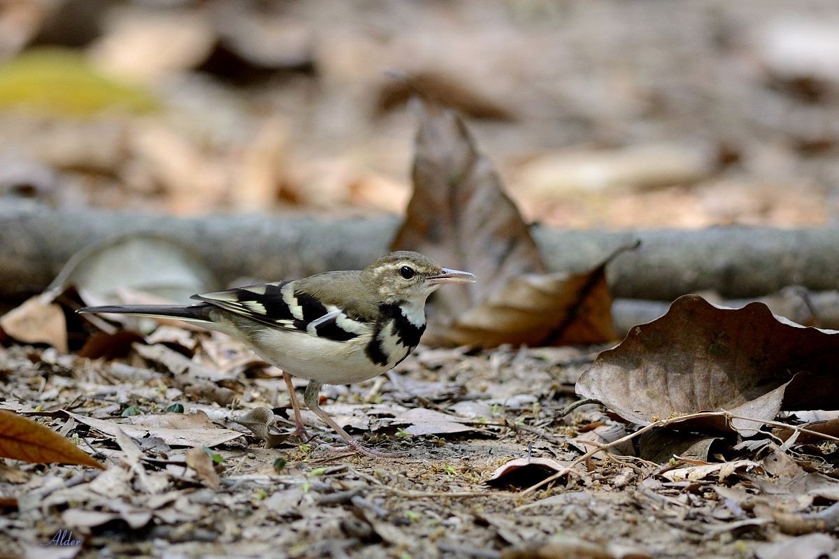 Forest_Wagtail_4540