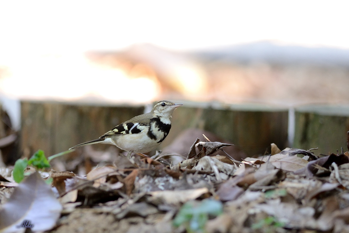 Forest_Wagtail_4493