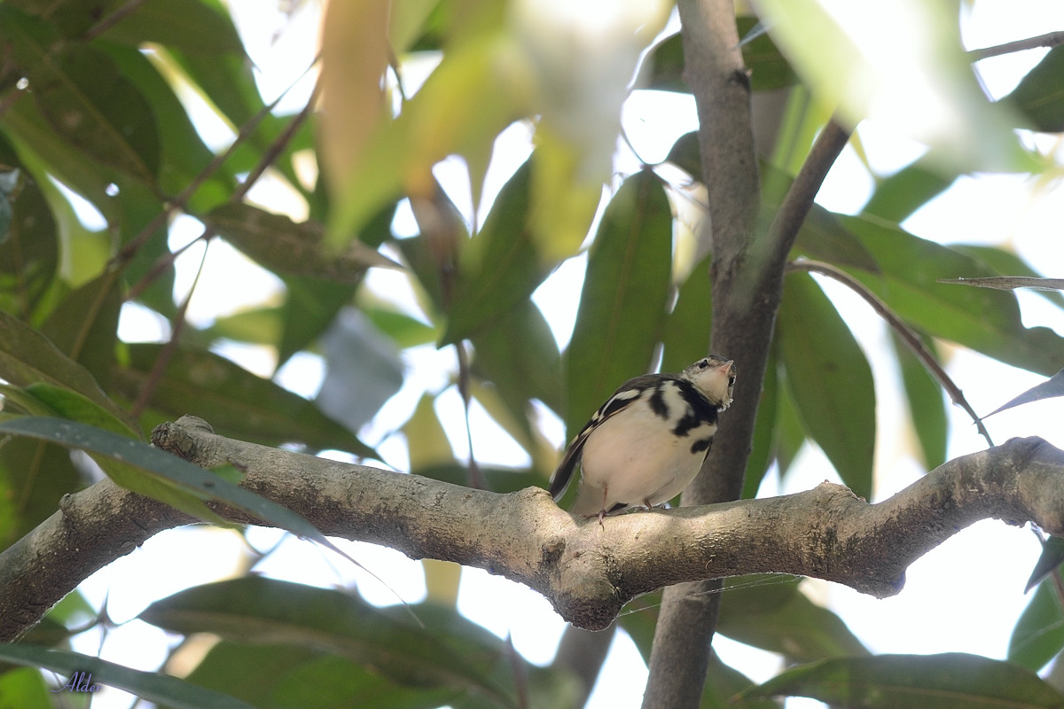 Forest_Wagtail_4476