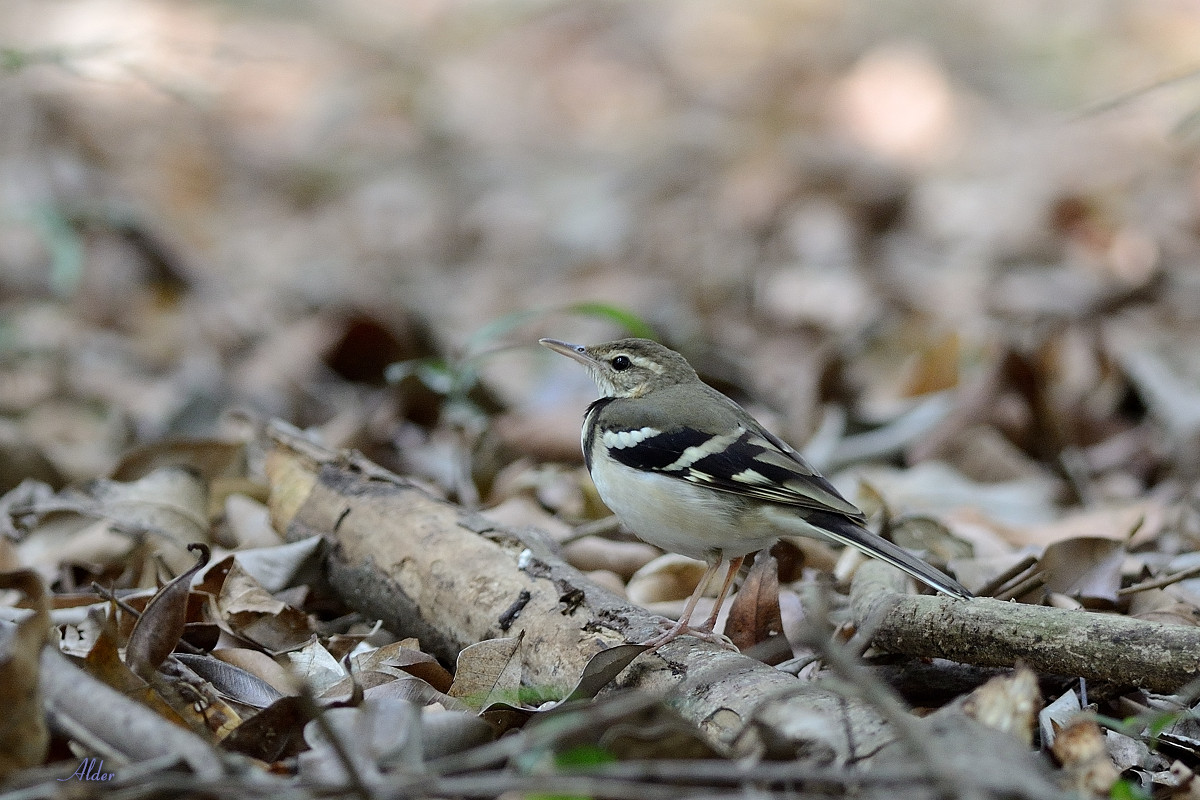 Forest_Wagtail_4438
