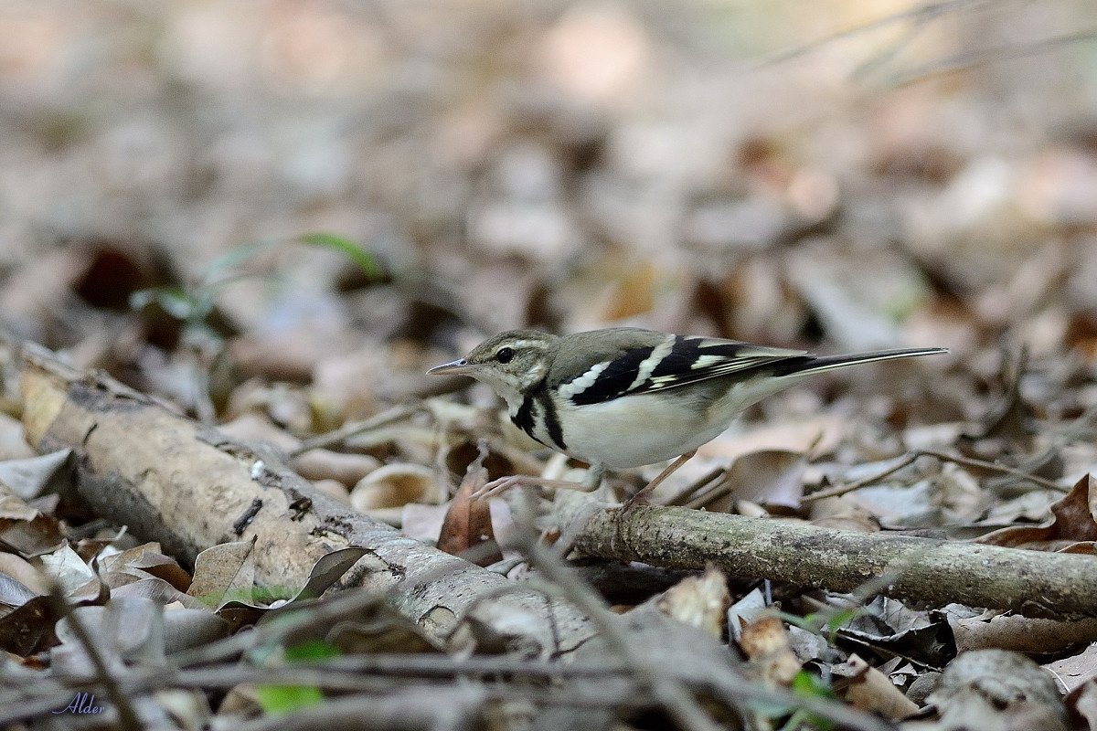 Forest_Wagtail_4427