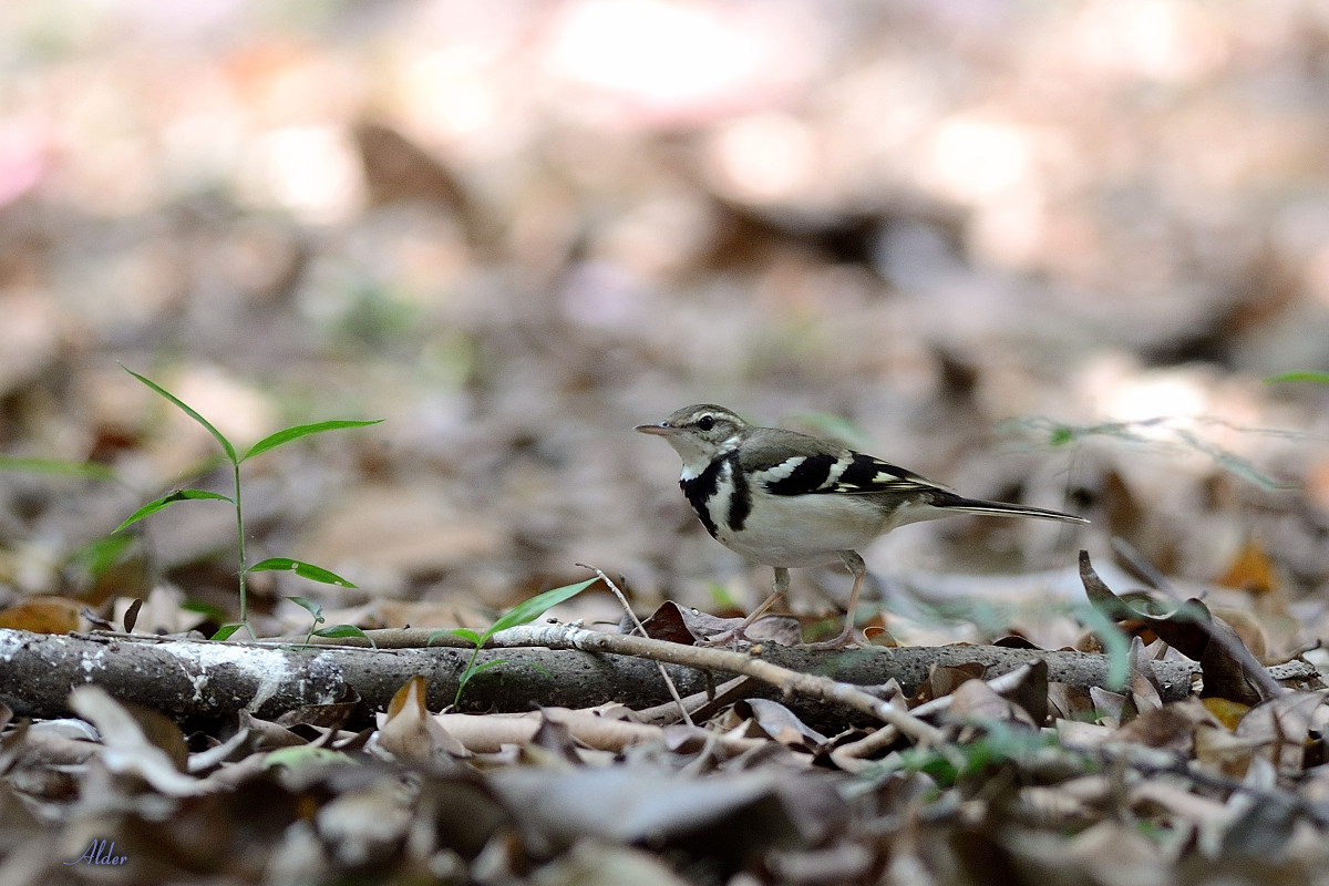Forest_Wagtail_4415