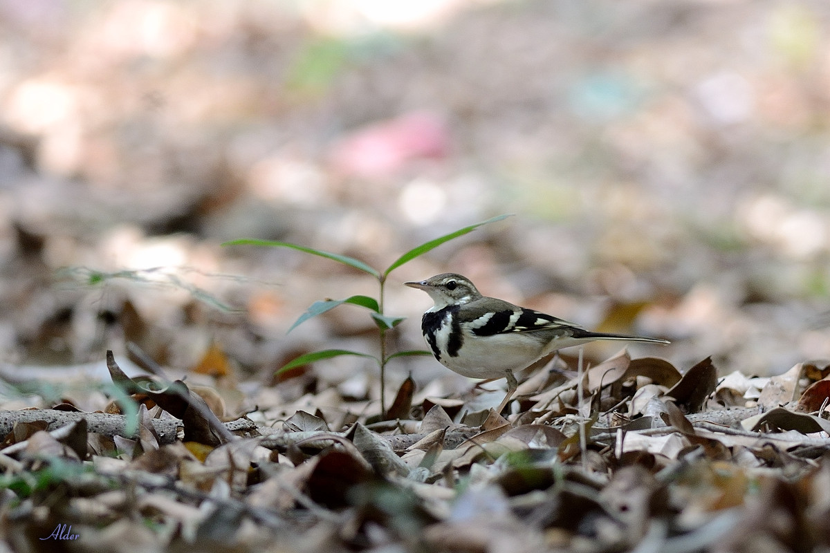 Forest_Wagtail_4413