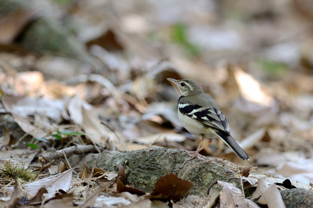 Forest_Wagtail_4388