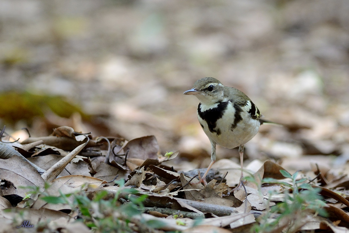 Forest_Wagtail_4587