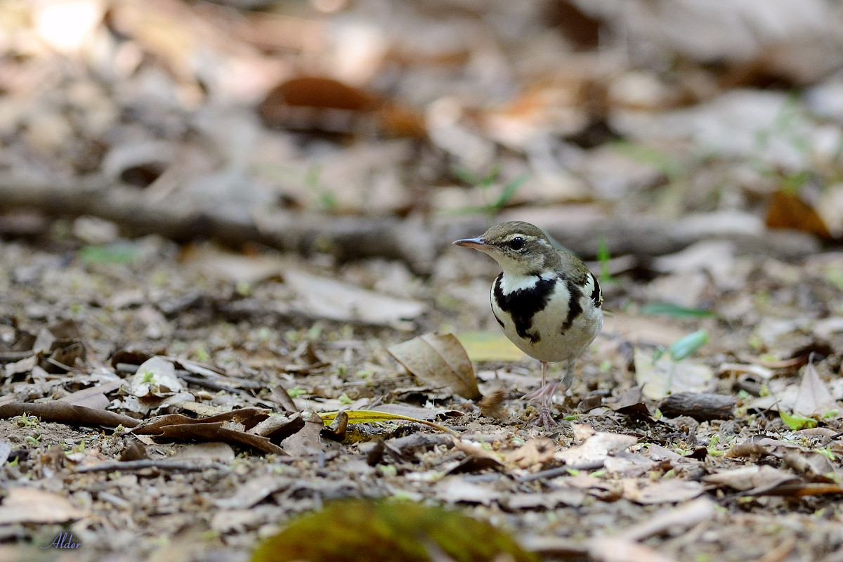 Forest_Wagtail_4571
