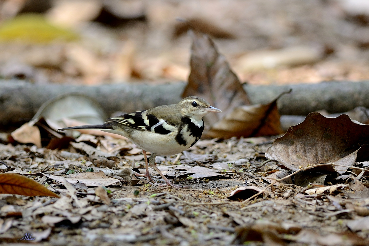 Forest_Wagtail_4541