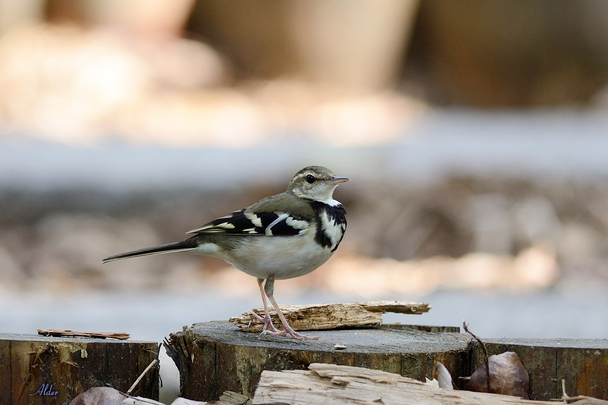 Forest_Wagtail_4505