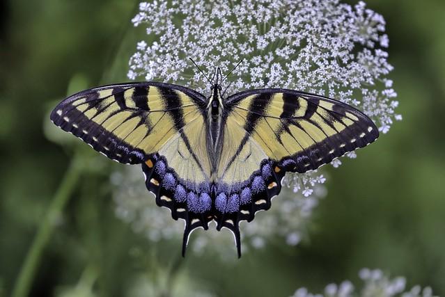 Female Tiger Swallowtail (explore 7/2/19)