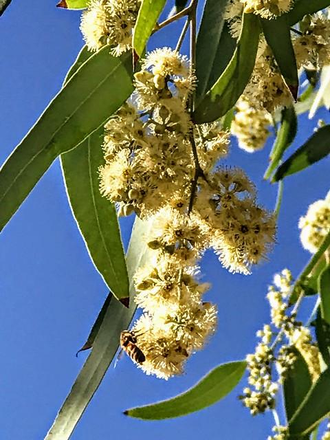 Bees 🐝 Feeding On Handmaker's Flowering Eucalyptus Trees