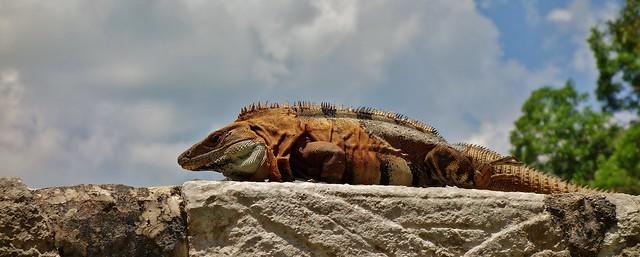 MEXICO, Yucatán, Chichén Itzá,  Leguan,  19025/11684