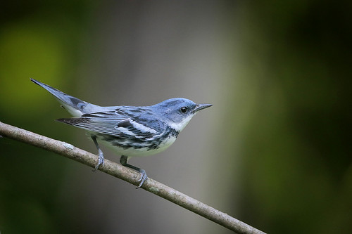 Cerulean Warbler | by Greg Lavaty Photography