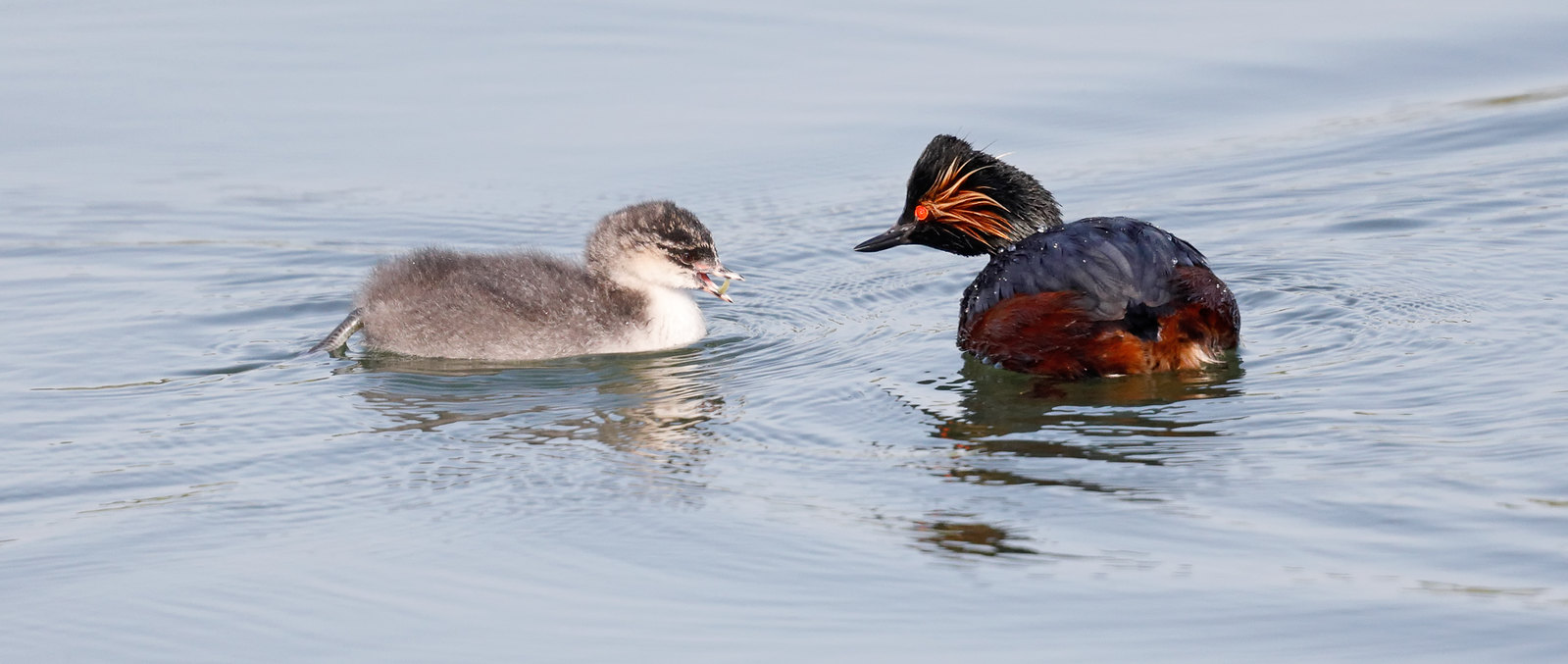 Black-necked Grebes and their young