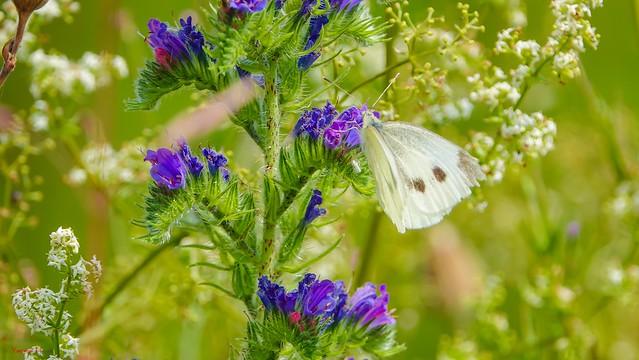 Butterfly - 7019