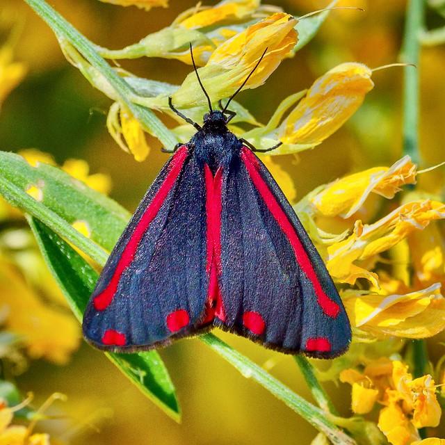 Mariposa del cinabrio  (Tyria jacobaeae).