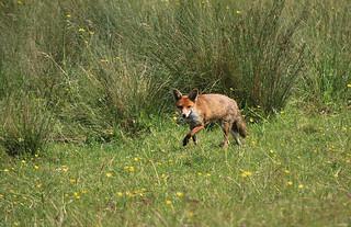Red fox, England