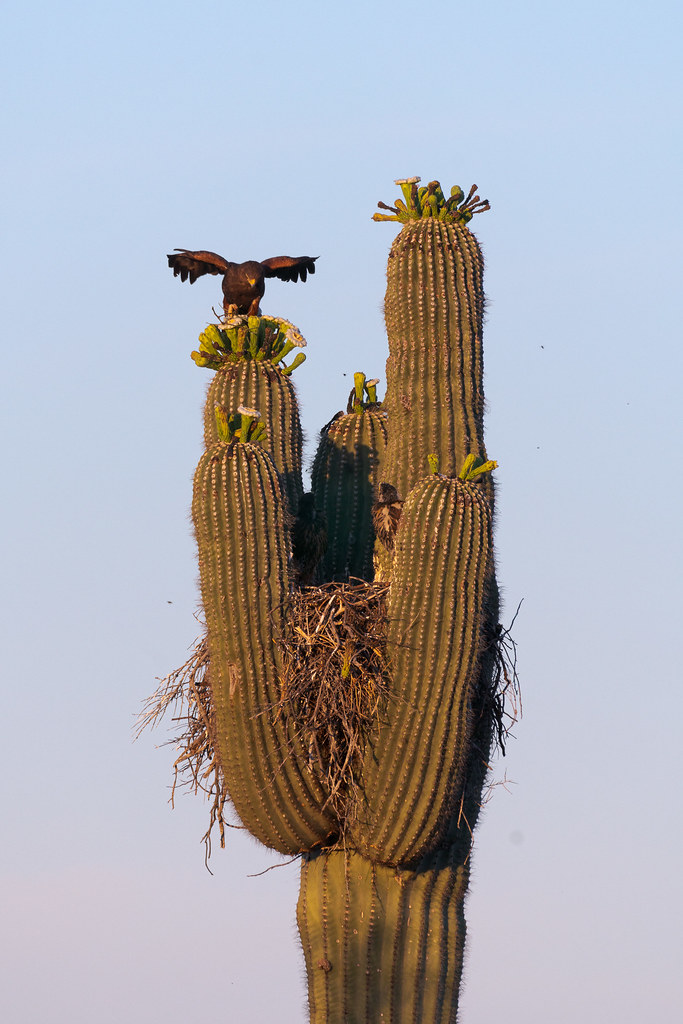 An adult Harris's hawk perches on a saguaro arm with its wings partially spread while two nestlings watch from the nest below along the Chuckwagon Trail in McDowell Sonoran Preserve in Scottsdale, Arizona in June 2019
