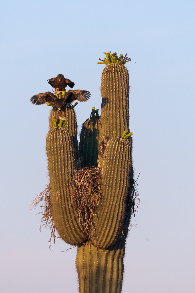 An adult Harris's hawk perches on a saguaro arm with its wings partially spread while looking down at a nestling that is landing on a saguaro arm as it learns to fly along the Chuckwagon Trail in McDowell Sonoran Preserve in Scottsdale, Arizona in June 2019