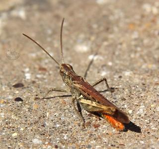 Stripe-winged Grasshopper