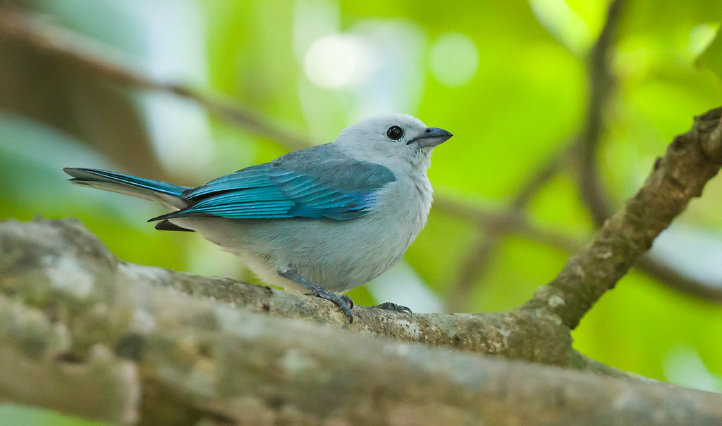 0P7A9830  Blue-gray Tanager, Panama